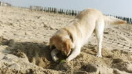 MS Shot of golden retriever digs a hole in the sand at beach / Duisburg, Germany