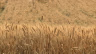 MS Shot of golden ripe tops of wheat field in Plain / Kedma, Judean foothills, Israel