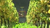 MS Shot of grape harvest in vineyard at Saar Valley / Serrig, Rhineland Palatinate, Germany