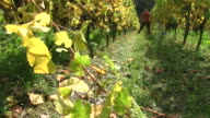 MS Shot of grape harvest in vineyard at Saar Valley / Serrig, Rhineland Palatinate, Germany