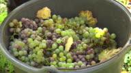 CU Shot of grape harvest in vineyard at Saar Valley / Serrig, Rhineland Palatinate, Germany