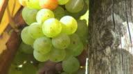 ECU Shot of grapes in vineyard at Saar Valley / Serrig, Rhineland Palatinate, Germany