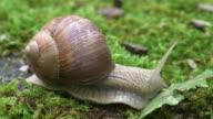 ECU Shot of grapewine snail eating common dandelion leaf (Helix pomatia) / Kastel-Staadt, Rhineland-Palatinate, Germany
