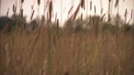 ECU PAN Shot of Grass and wheat stalks in foreground with out of focus open field in back side / Gettysburg, Virginia, United States