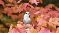 CU Shot of Gray jay and fall color / Whitney, Ontario, Canada