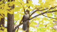 MS Shot of Gray jay and fall color / Whitney, Ontario, Canada