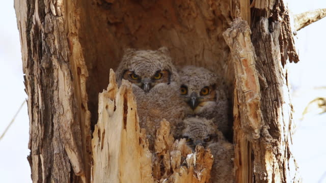 CU Shot of Great horned owlets waiting for mom return / Boulder, Colorado, United States