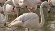 CU PAN TU SLO MO Shot of Greater Flamingo flock standing in river / Slimbridge, Gloucester, United Kingdom
