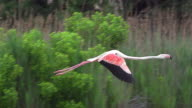 WS SLO MO TS Shot of Greater Flamingo, phoenicopterus ruber roseus, Adult in Flight at Camargue in South East / Saintes Maries de la Mer, Camargue, France