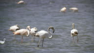 MS Shot of greater flamingoes (Phoenicopterus roseus) standing in saltpans / Eilat, Negev Desert, Israel