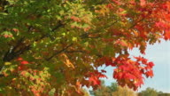 MS Shot of Green and red autumn leaves on tree blowing in wind in county side / Porter County, Indiana, United States