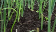CU R/F Shot of green shoots sprouting from earth in a community garden in Khayelitsha township / Cape Town, South Africa