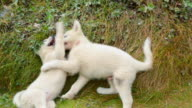 MS TS Shot of Greenland husky pups playing / Itilek, Sondrestromfiord, Greenland