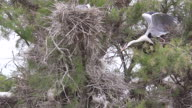 MS SLO MO Shot of Grey Heron taking off from nest / Saintes Marie de la Mer, Camargue, France