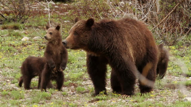 MS PAN Shot of grizzly bear with three spring cubs / Tetons, Wyoming, United States
