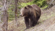 MS Shot of grizzly boar walking / Tetons, Wyoming, United States