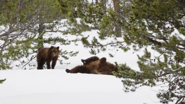 MS Shot of grizzly sow lays on her back in snow getting ready to nurse her cubs / Tetons, Wyoming, United States