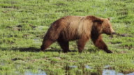 MS TS Shot of grizzly sow walking along stream watching for her cubs and gives beautiful reflection / Tetons, Wyoming, United States