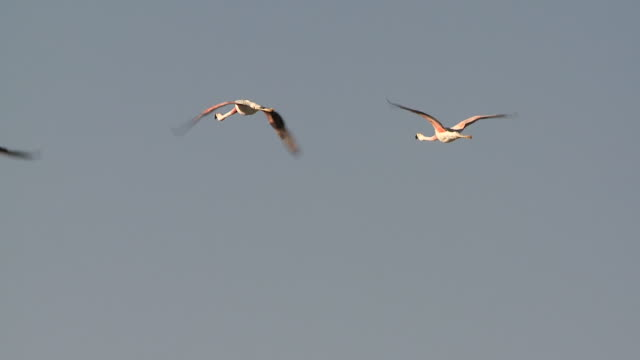 MS SLO MO Shot of Group of Andean Flamingos, Phoenicoparrus andinus flying / San Pedro de Atacama, Norte Grande, Chile