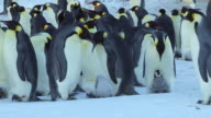 MS Shot of Group of calm Emperor penguins three adults converge on chick / Dumont D'Urville Station, Adelie Land, Antarctica