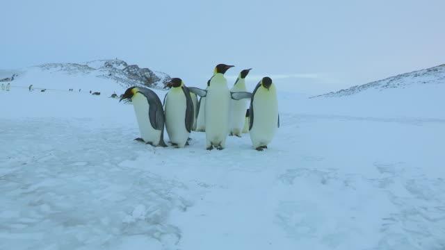 MS POV Shot of Group of Emperor penguins walking and tobogganing on snow / Dumont D'Urville Station, Adelie Land, Antarctica