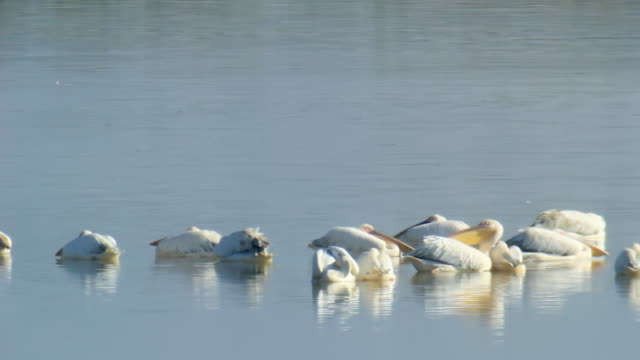 WS Shot of Group of great white pelicans, pelecanus onocrotalus swimming at nature Reserve / Hula Valley, Galilee, Israel