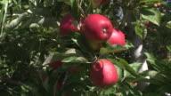 CU Shot of hand picking Apples from tree / Nelson, Marlborough, New Zealand