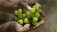 CU Shot of Hands holding green grapes / Franschhoek, Western Cape, South Africa