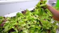 CU SLO MO TS Shot of Hands sorting fresh organic lettuce / Chatham, Michigan, United States