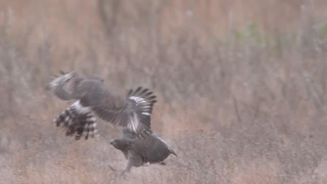 MS SLO MO TS Shot of Hawk playing another hawk   / Central Kalahari Game Reserve, Botswana