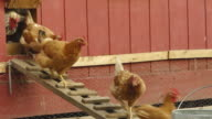 MS Shot of Hens and white rooster walk down ramp from their poultry house / Chelsea, Michigan, United States