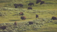 MS AERIAL TS Shot of Herd of buffalo eating grass and two buffalo fighting in Hayday Valley in Yellowstone National Park / Wyoming, United States
