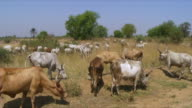 WS Shot of herd of cattle walking and grazing / Juba, Central Equatoria, Sudan