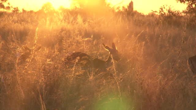 MS Shot of Herd of impalas grazing at sunset  / Kruger National Park, Mpumalanga, South AfricaMS Shot of