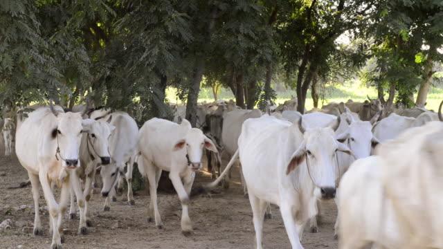 MS Shot of herd of white cows and shepherd / Bagan, Mandalay Division, Myanmar