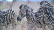MS Shot of Herd of zebra (Equus quagga) walking in savannah / Kruger National Park, Mpumalanga, South Africa