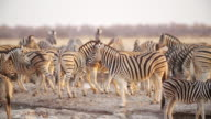 MS PAN Shot of Herd of Zebras in savannah / Etosha National Park, Namibia