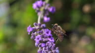 ECU SLO MO Shot of Honey bee feeding on nectar from lavender flower, cleaning his eye and antenna, has walking on flower and taking off / Les Mureaux, Yvelines (78), France