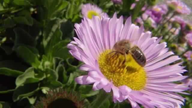 Newcastle Emlyn United Kingdom  city pictures gallery : ... Honey bee nectar feeding / Newcastle Emlyn, Ceredigion, United Kingdom