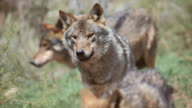 MS TS R/F Shot of Iberian wolves in forest / Antequera, Malaga, Spain