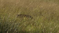 MS Shot of Impala ram obscured by long grass, Entabeni Game Reserve / Limpopo, South Africa