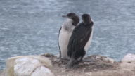MS Shot of Imperial Shag (Phalacrocorax atriceps) two young Shags sitting on nest / Antarctica