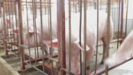 MS Shot of Interior of pig farm / Xian, Shaanxi, China