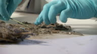 CU Shot of investigator wearing gloves sifts through debris in lab / United States
