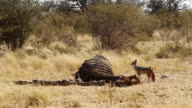 MS Shot of jackal is standing to dead elephant carcass / Etosha, Ombika, Namibia
