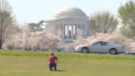 MS Shot of Jefferson Memorial in Washington DC framed by cherry blossom trees in bloom as man with back to camera takes picture / Washington, District of Columbia, United States