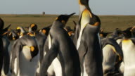 MS PAN Shot of King Penguin Aptenodytes patagonicus bodies then wing flapping and hitting each / Volunteer Point, Falkland Islands other