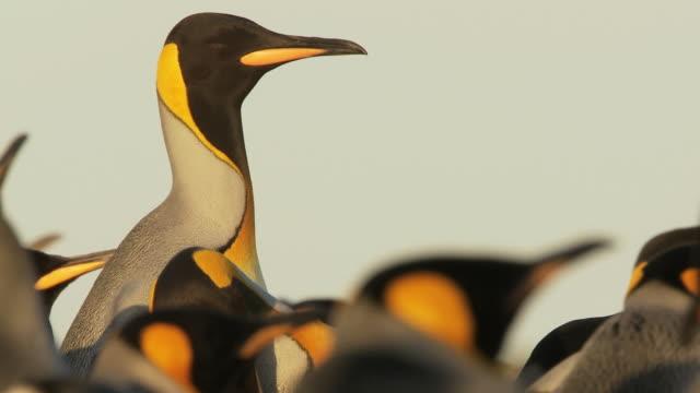 MS TU Shot of King Penguin Aptenodytes patagonicus in group skypointing display / Volunteer Point, Falkland Islands