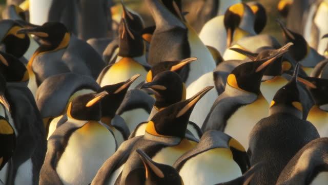 MS PAN Shot of King Penguin Aptenodytes patagonicus in group, some preening and threatening behavior / Volunteer Point, Falkland Islands