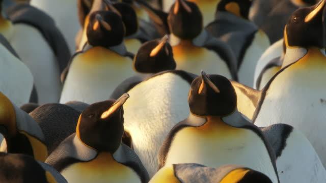 MS Shot of King Penguin Aptenodytes patagonicus in group some preening and threatening behavior / Volunteer Point, Falkland Islands